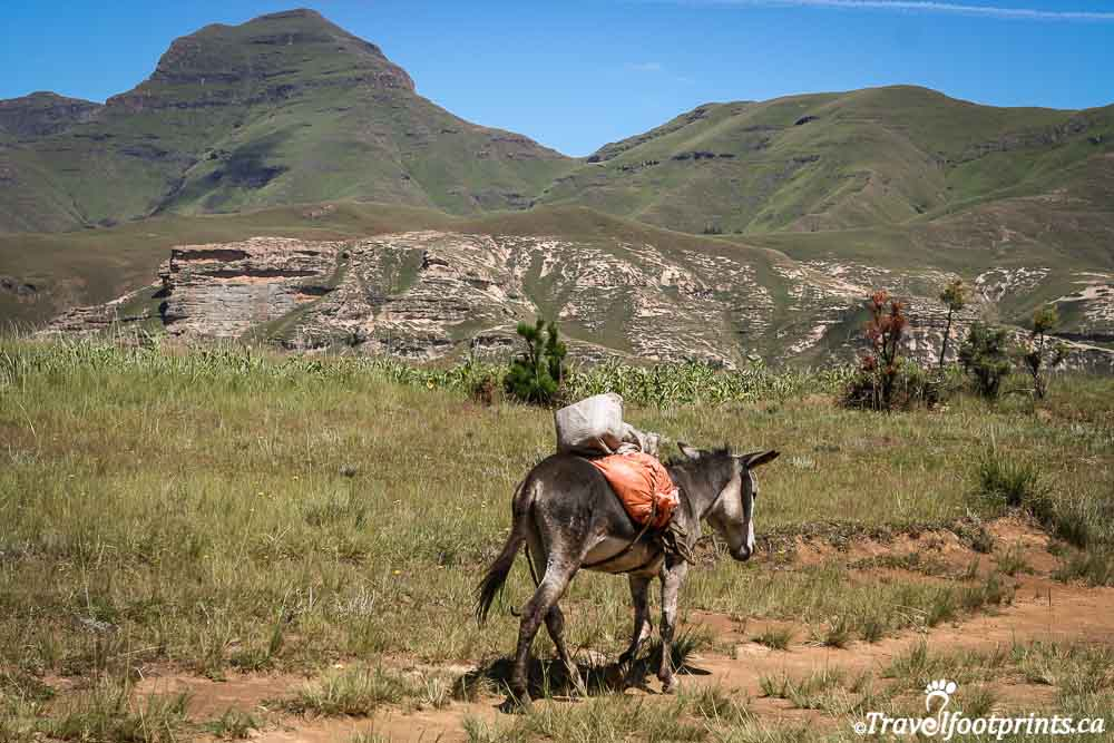 a donkey packing goods through the hills of lesotho africa