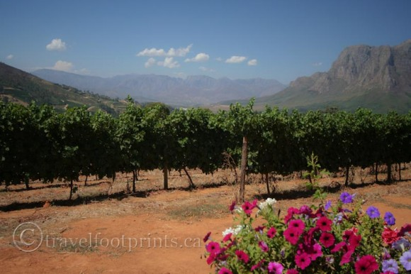 Boschendal-Vineyards-Franschhoek-South Africa-Winelands-flowers-mountains-grapes