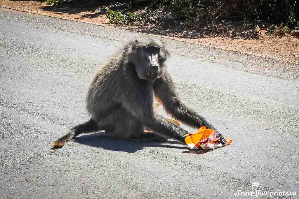 baboon sitting on the road at cape of good hope eating stolen bag of chips