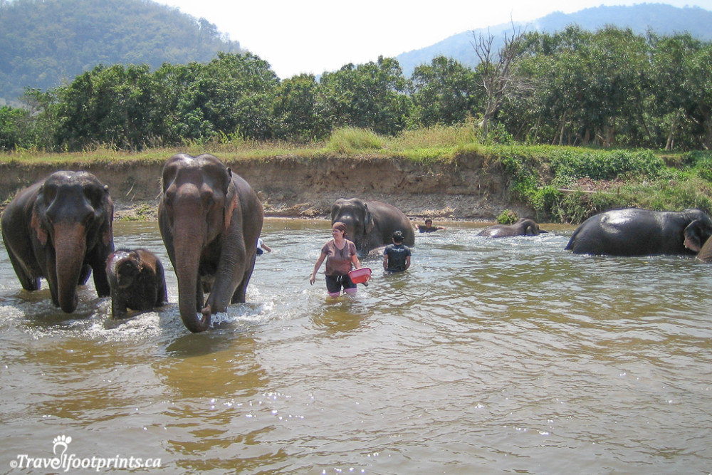 bathing elephants in the river at the nature park