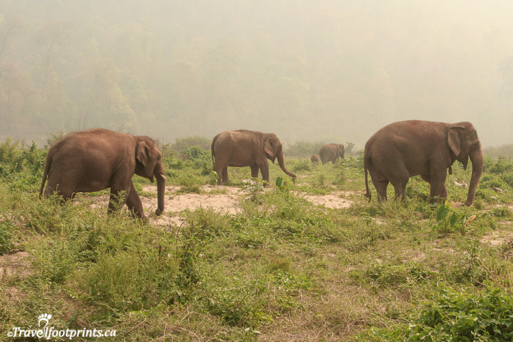 elephants grazing in the grass at the nature park in thailand
