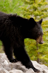 jasper-national-park-black-bear-close-up-wildlife