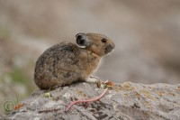 jasper-national-park-pika-sitting-rock