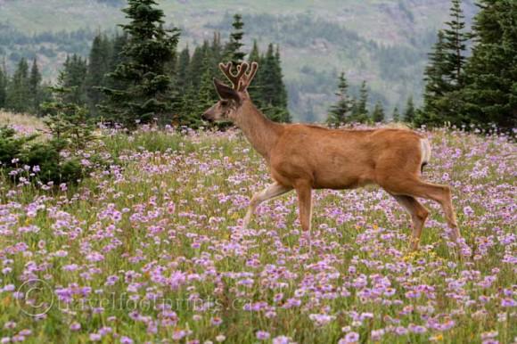 deer-walking-wildflowers-glacier-national-park-montana