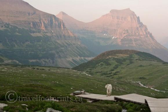 mountain-goat-standing-wooden-boardwalk-hidden-lake-trail-glacier-national-park