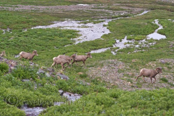 mountain-goat-herd-running-glacier-national-park-wildlife