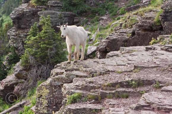 mountain-goat-standing-rock-glacier-national-park-montana-wildlife