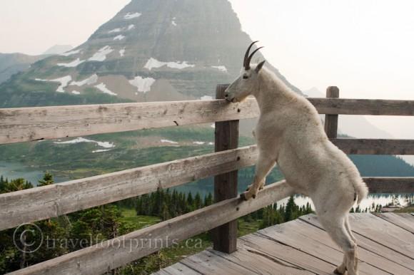mountain-goat-licking-salt-wooden-fence-hidden-lake-glacier-national-park