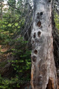yoho-national-park-takakkaw-falls-strange-old-tree