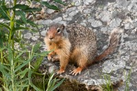 yoho-national-park-squirrel-sitting-rock