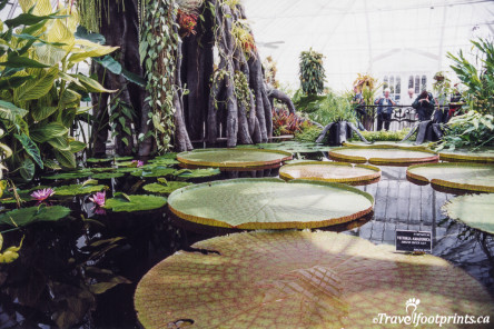 Giant lily pads at the Conservatory of flowers Sanrfrancisco