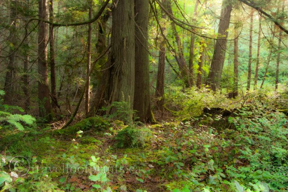 hornby-island-forest-moss-trees-ferns