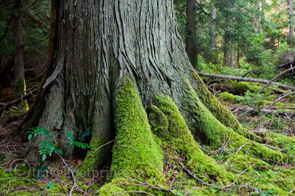 hornby-island-big-tree-green-moss-forest