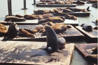 san-francisco-sea-lion-colony-west-marina-K-dock-ocean-pier