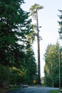 Big-tree-hornby-island