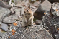 lake-louise-plain-six-glaciers-squirrel-standing