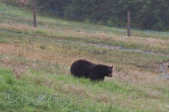 grizzly-bear-walking-whistler-village-grass