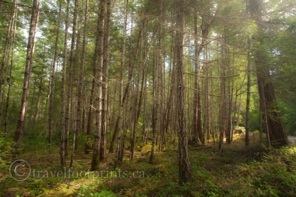 hornby-island-tall-standing-trees-forest