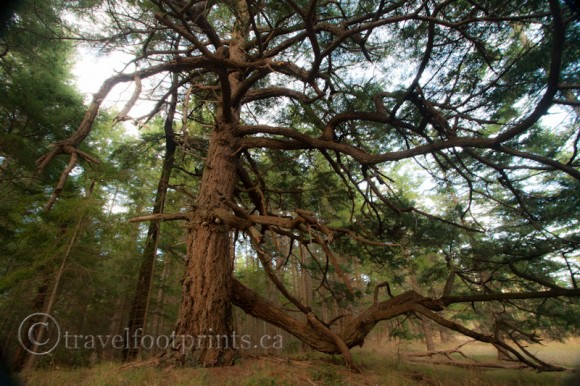 hornby-island-helliwell-park-creepy-interesting-tree-branches