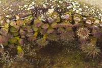 hornby-island-tribune-bay-sea-urchins