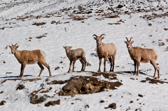 herd-big-horn-sheep-snow-rocks