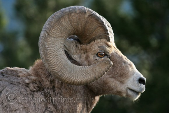 close-up-big-horn-sheep