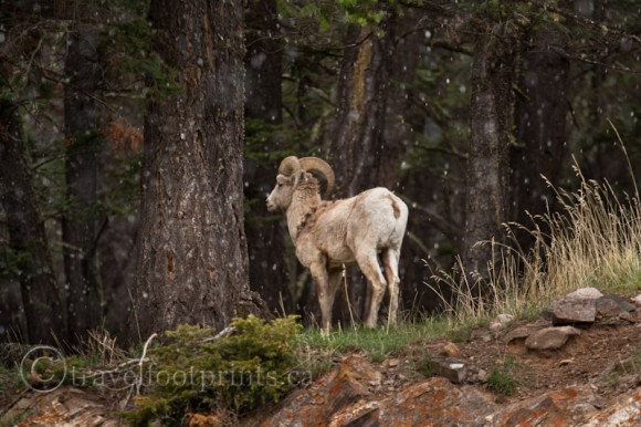 big-horn-sheep-snowing-forest