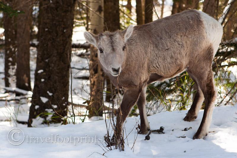 Rocky Mountain Wildlife Canada S Serengeti