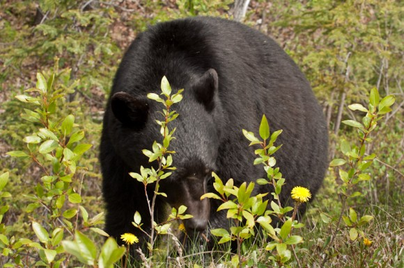 black-bear-foraging-bushes