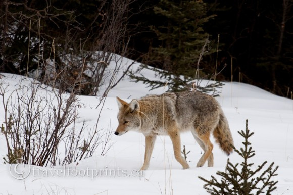 coyote-walking-in-snow