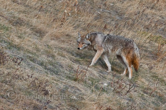 coyote-walking-grasslands-fall-color