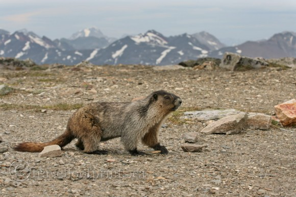 hoary-marmot-walking-mountains