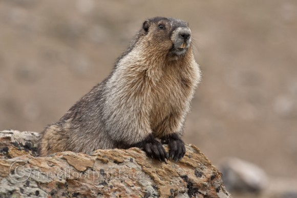 hoary-marmot-close-up-rock-teeth