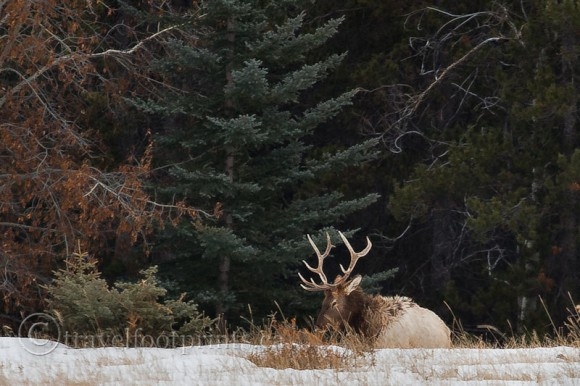elk-laying-in-snow-forest-antlers