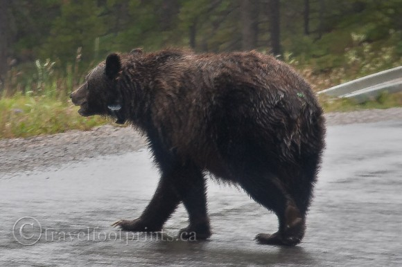 grizzly-bear-walking-road-collar