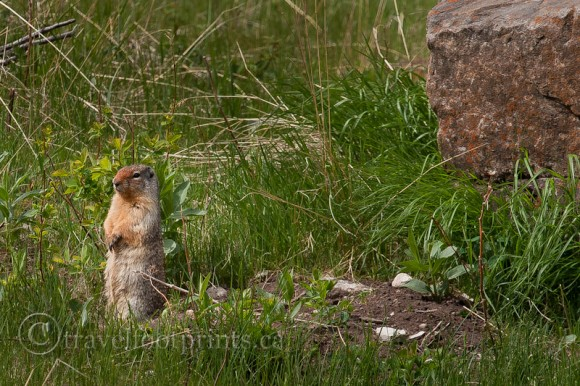 ground-squirrel-standing
