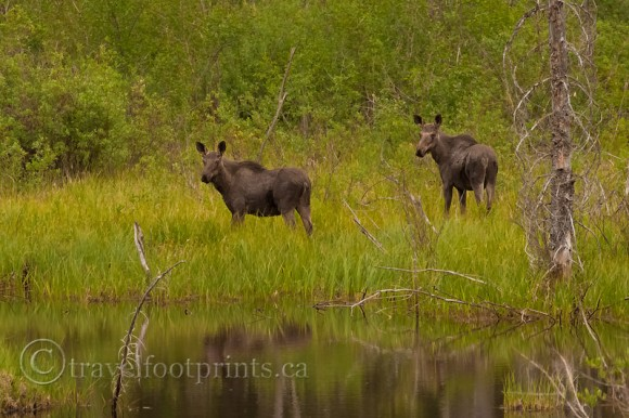 two-young-moose-field-water