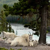 mother and baby mountain goats laying down above river