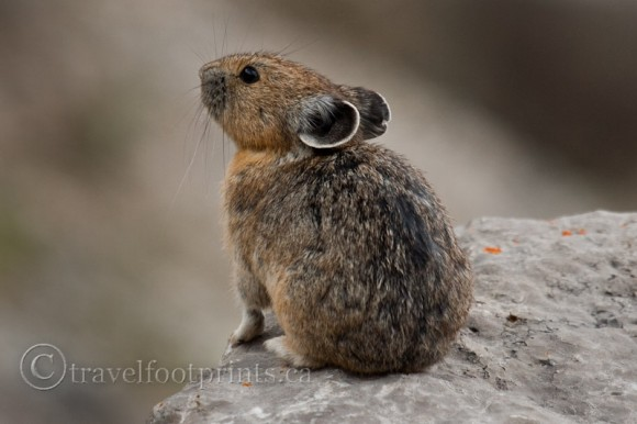 close-up-pika-on-rock