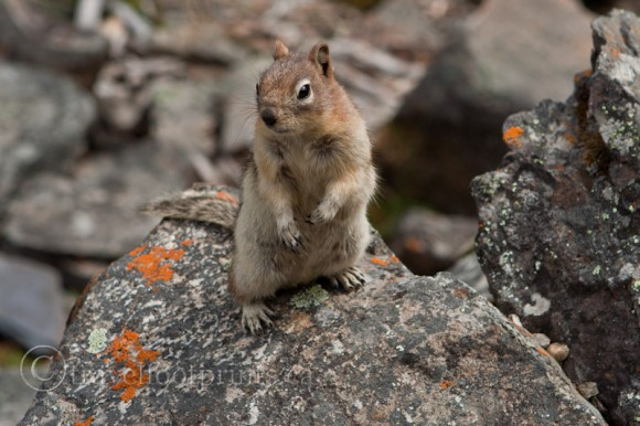 squirrel-standing-rock