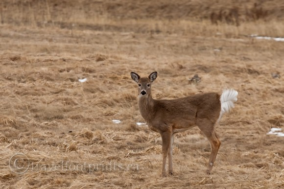 white-tail-deer-field