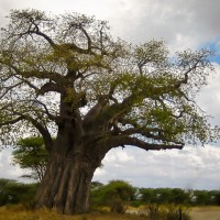 giant baobob tree tarangire national park tanzania