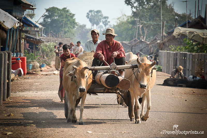 Cow Pulling Wagon : A boat trip to tonle sap and it s villages