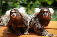 Monkeyland, A Primate Sanctuary On The Garden Route