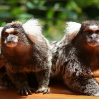 a pair of white ear marmosets