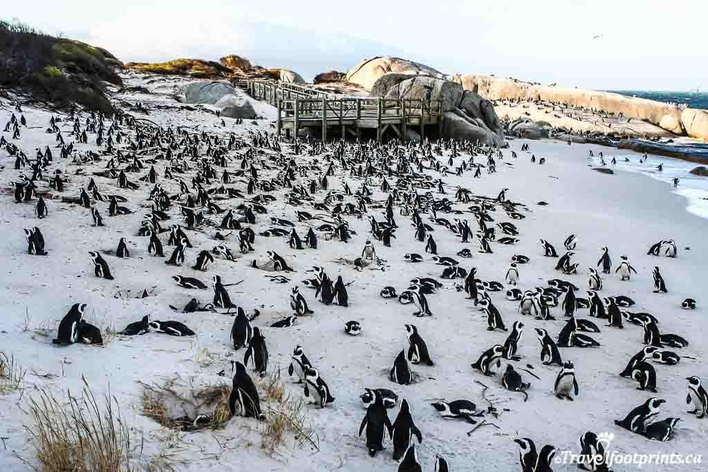 hundreds of penguins on boulders beach