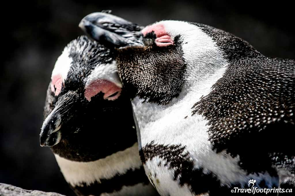 male and female penguin cuddle on boulders beach