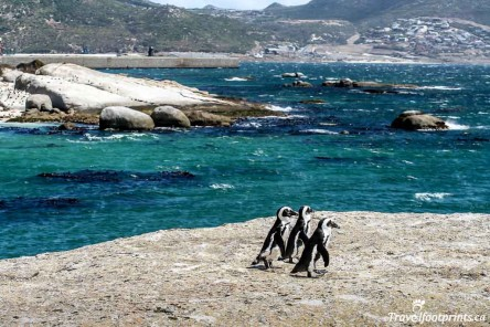 Tuxedo Wearers Of Boulders Beach