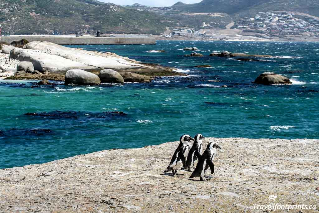 penguins on the rocks near the ocean at boulders beach