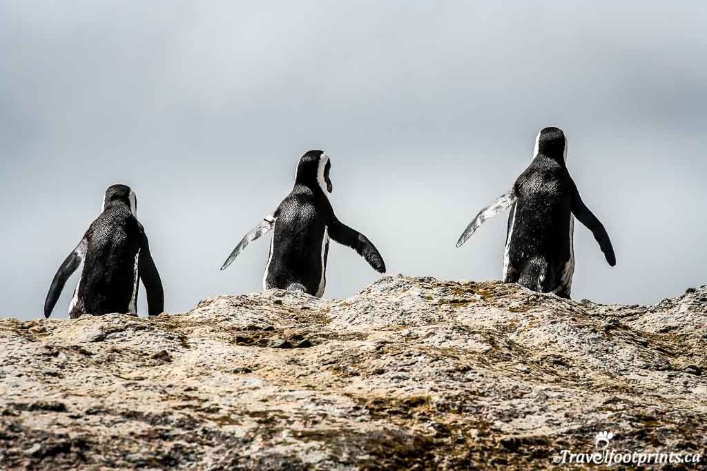 three penguins walk towards the ocean at boulders beach